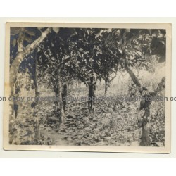 Congo-Belge: Indigenous Kids Harvest Cocoa Pods / Cacao (Vintage Photo ~1930s)