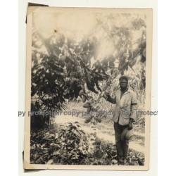 Congo-Belge: Native Man In Front Cacao / Cocoa Pods (Vintage Photo ~1930s)