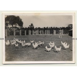 Congo-Belge: Farm In Elisabethville *2 / Chicken - Lubumbashi (Vintage Photo ~1930s)