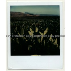 Photo Art: Opuntia Ficus-Indica (Vintage Polaroid SX-70 1980s)