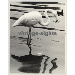 Still Life: Swan Wades Through Water (Vintage Photo 1970s)