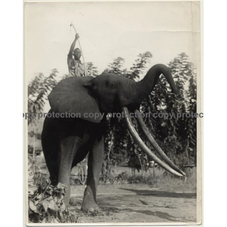 Africa / Congo?: Native Is Riding On Elephant With Huge Tusks (Large Vintage Photo ~1940s/1950s)