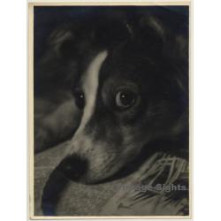 Portrait Of Sheltie - Mini Collie - Dog *2 (Vintage Photo ~...