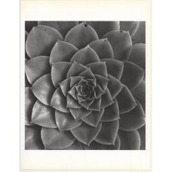 Horst P. Horst: Aednium Holochrrysum 1945 (Sheet 1992: Form...