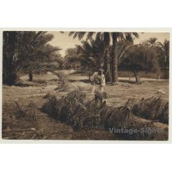 Maghreb: Date Harvest / Dattelernte (Vintage PC 1908)