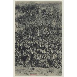 Mombasa / Africa: Coffee Tree - Kaffeebaum - Caféier (Vintage PC)