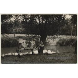 Splendid Cow At Lake Shore / Udder - Cattle (Vintage RPPC)
