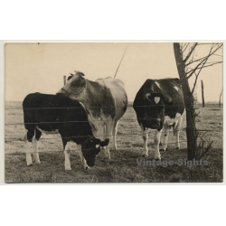 2 Cows & Calf On Pasture / Horns - Cattle (Vintage RPPC)