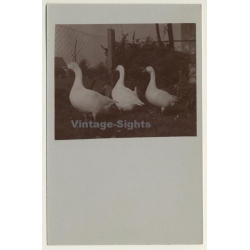 3 Geese On Meadow / Goose - Gänse (Vintage Cellofix RPPC ~1910s)