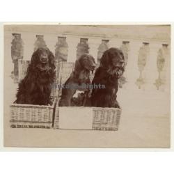 Snapshot: 3 Dogs In Basket / Gordon Setter? (Vintage Albumen...