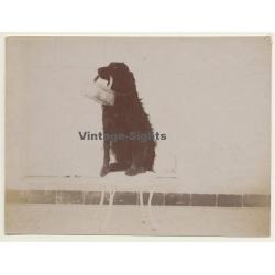 Snapshot: Dog Carries Basket / Gordon Setter? (Vintage Albumen...