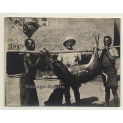 Congo-Belge: Colonial Hunter & 2 Natives W. Shot Antelope...