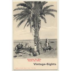 Egypt: Harvesting The Dates / Camels - Ethnic (Vintage PC...