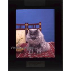 Persian Longhair *1 - Perser Langhaar / Cat (Vintage...