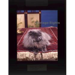 Persian Longhair *2 - Perser Langhaar / Cat (Vintage...