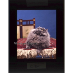 Persian Longhair *3 - Perser Langhaar / Cat (Vintage...