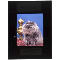 Persian Longhair *4 - Perser Langhaar / Cat (Vintage...