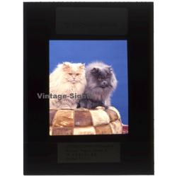 Persian Longhair *6 - Perser Langhaar / Cat (Vintage...