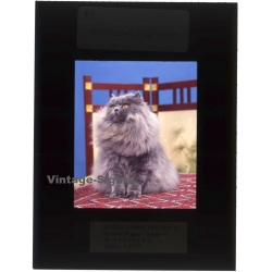 Persian Longhair *8 - Perser Langhaar / Cat (Vintage...