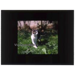 Great White Domestic Cat - Hauskatze / Meadow (Vintage...