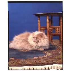 Persian Longhair *9 - Perser Langhaar / Cat (Vintage...