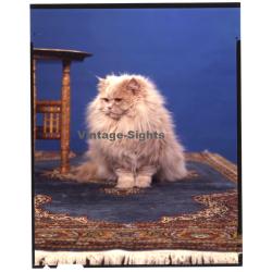 Persian Longhair *10 - Perser Langhaar / Cat (Vintage...