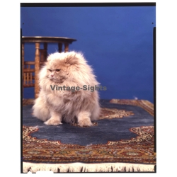 Persian Longhair *11 - Perser Langhaar / Cat (Vintage...