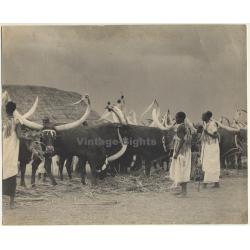Sudan: Mundari Tribe & Decorated Cows / Ankole-Watusi (Large...
