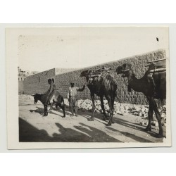 2 Camels & Donkey In Front Of Bedouin Town (Vintage Photo B/W)