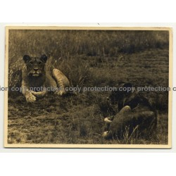 2 Lionesses Lingering In Steppe / Africa - Congo? (Vintage Photo B/W ~1930s1940s)