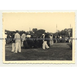 Disguised Native Congolese In Tug Of War / Congo (Vintage Photo B/W ~1940s)