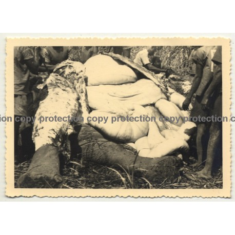 Africa / Congo: Native Congolese Skin Elephant (Vintage Photo B/W 1948)