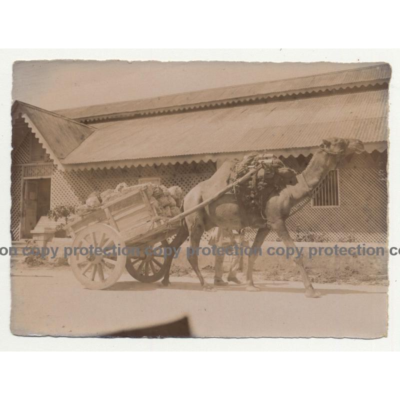 Camel Pulls Loaded Cart / Tanzania? (Vintage Photo B/W 1920s/1930s)