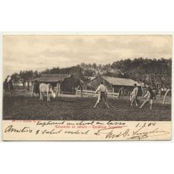 Argentina: Enlazando Un Caballo (Vintage Postcard B/W 1904)