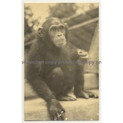 Africa: Baby Chimp / Chimpanzee (Vintage RPPC Gevaert ~1950s)