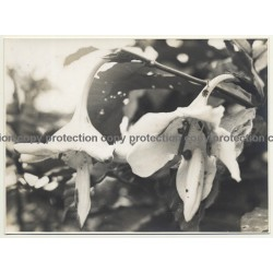 Plant Study: Randia Cuvelierana (Vintage Photo B/W 1945 Congo?)