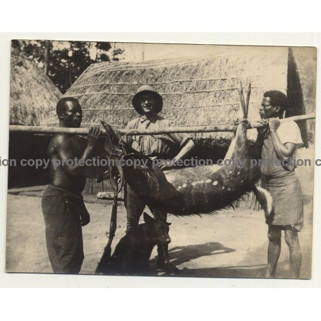 Congo-Belge: Hunter & Natives With Shot Antelope / Rifle (Vintage Photo 1920s/1930s)